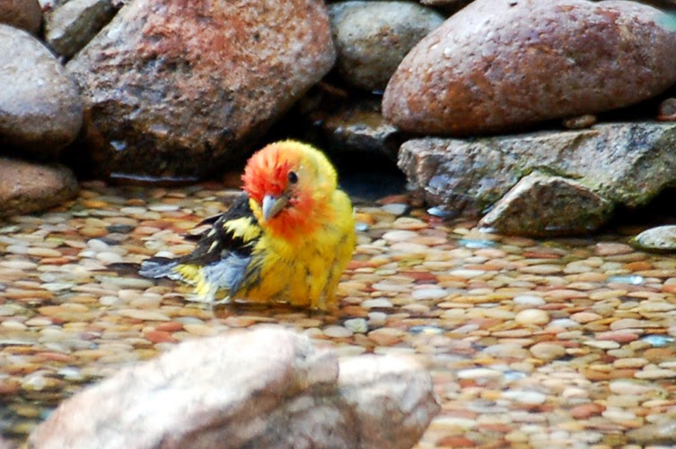 Western Tanager bathing 11